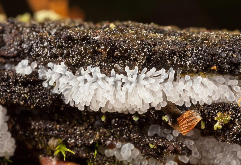 Isfinger (Ceratiomyxa fruticulosa)