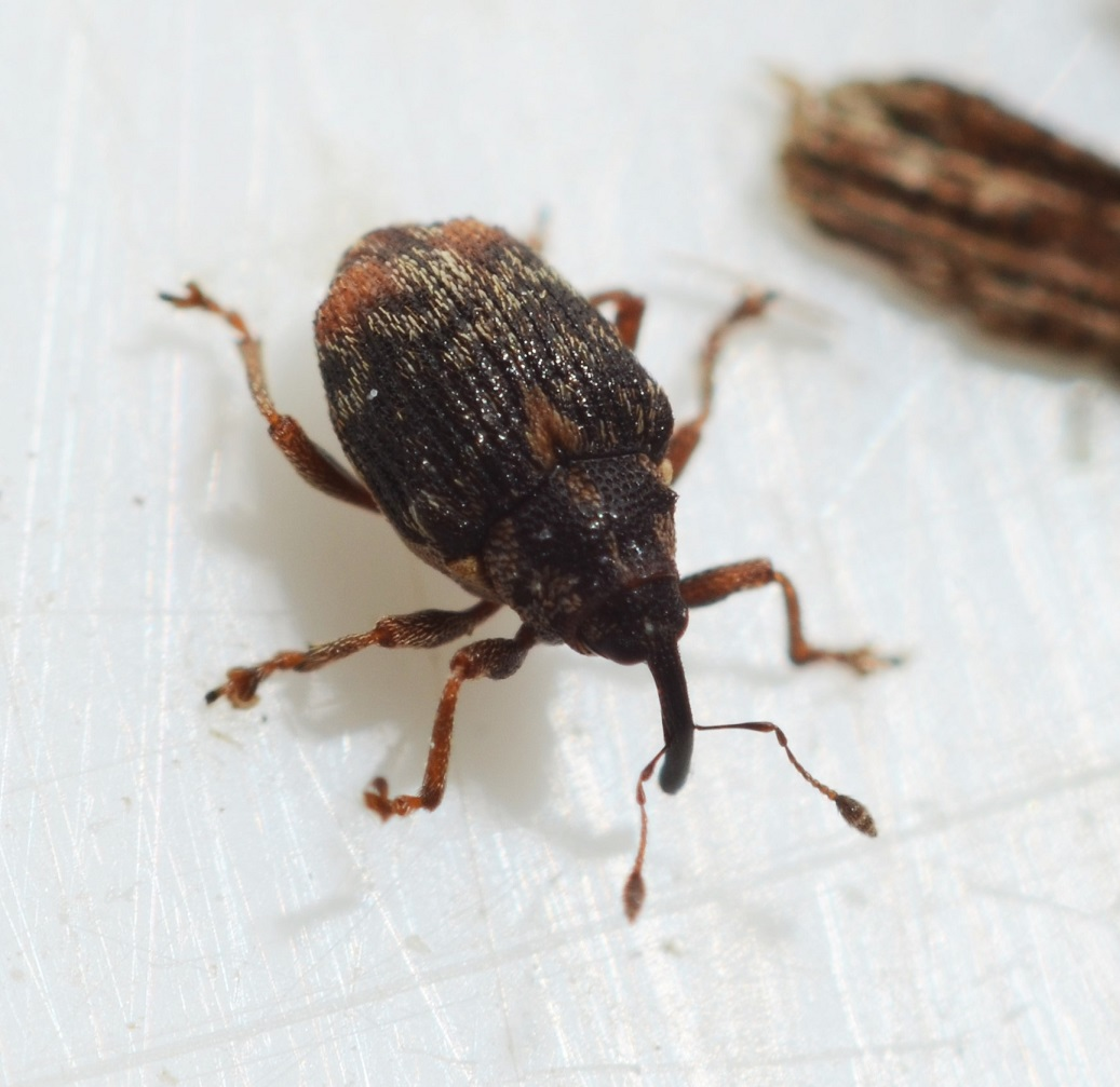 Ceutorhynchus querceti
