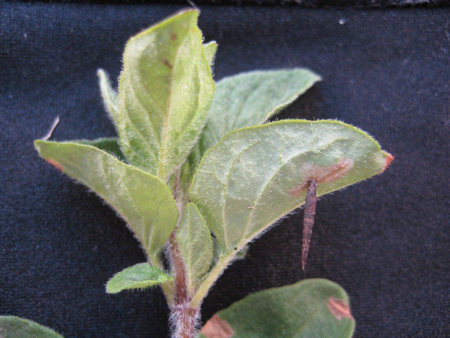 Foto/billede af Coleophora albitarsella (Coleophora albitarsella)