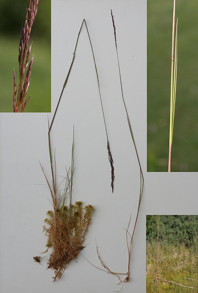 Foto/billede af Hunde-Hvene (Agrostis canina)