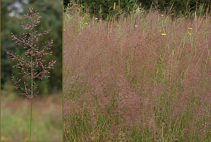 Foto/billede af Almindelig Hvene (Agrostis capillaris)