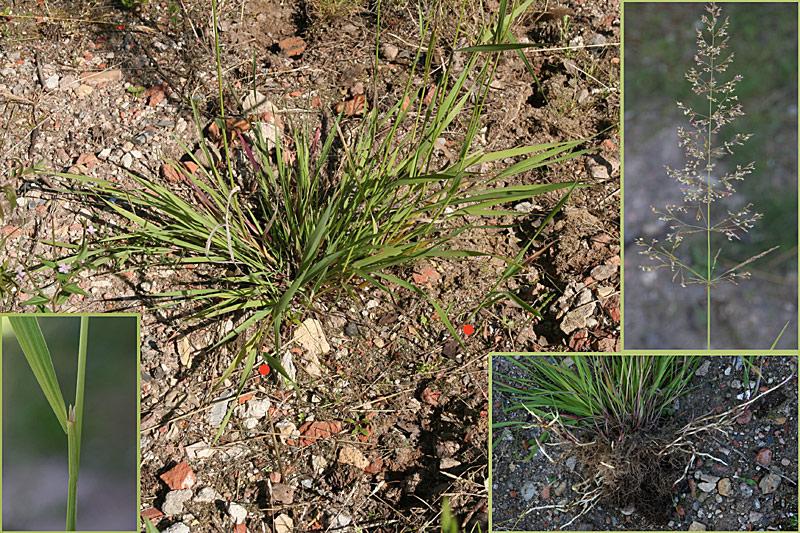 Foto/billede af Stortoppet Hvene (Agrostis gigantea)