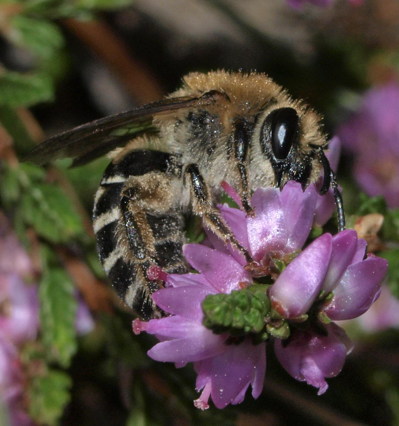 Foto/billede af Lyngsilkebi (Colletes succinctus)