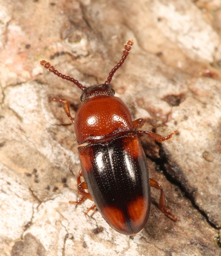 Combocerus glaber