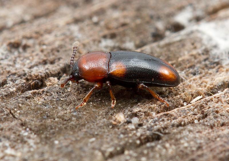 Foto/billede af Combocerus glaber (Combocerus glaber)