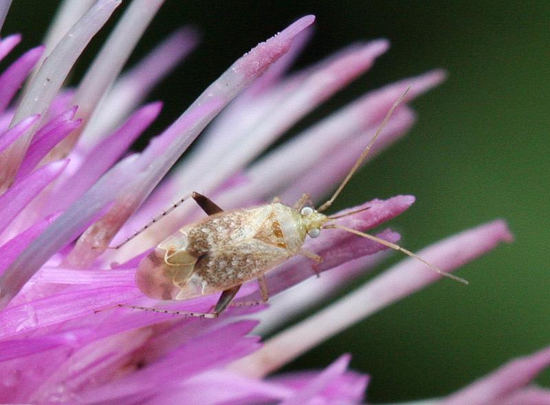 Foto/billede af Compsidolon salicellum (Compsidolon salicellum)