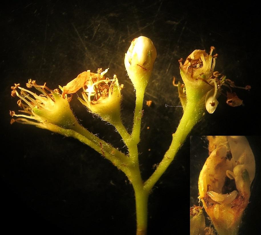Contarinia floriperda