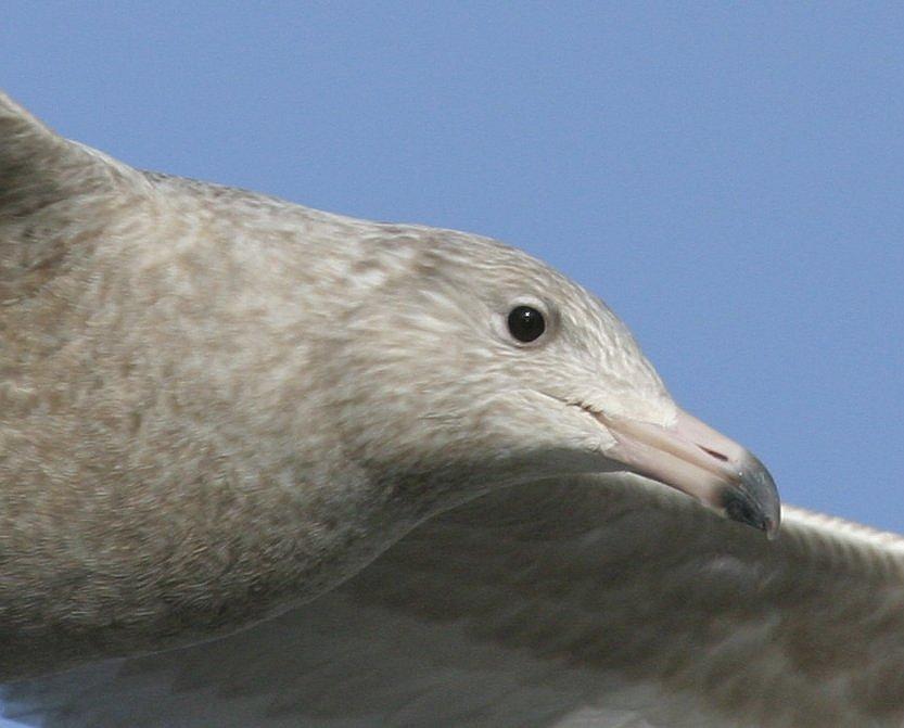 Gråmåge (Larus hyperboreus)