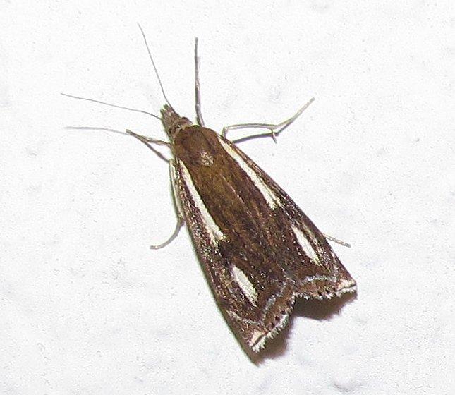 Crambus heringiellus