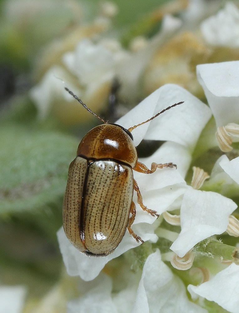 Cryptocephalus fulvus (Cryptocephalus fulvus)
