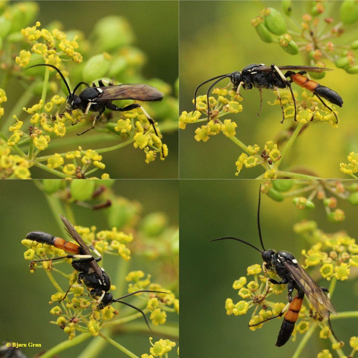 Ctenichneumon divisorius
