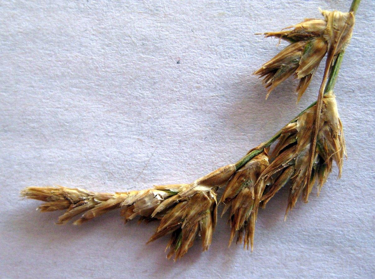 Skrænt-Star (Carex colchica)