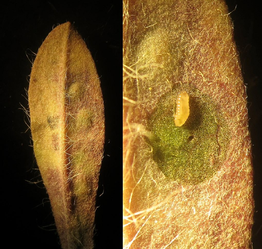Cystiphora sanguinea