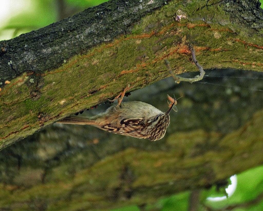 Korttået Træløber (Certhia brachydactyla)