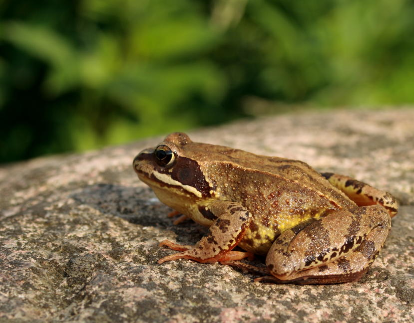 Butsnudet Frø (Rana temporaria)