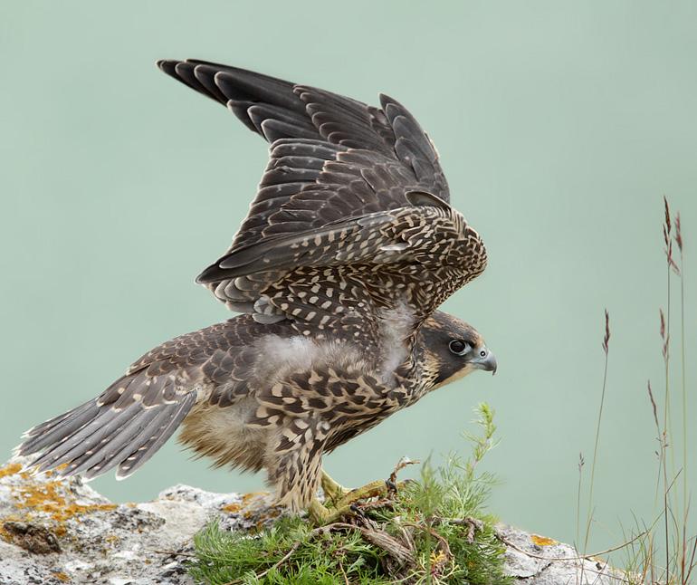 Vandrefalk (Falco peregrinus)