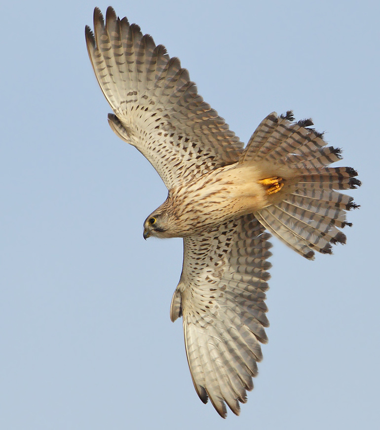 Foto/billede af Tårnfalk (Falco tinnunculus)