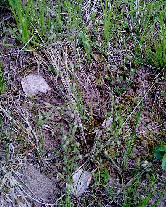 Foto/billede af Stivhåret Hønsetarm (Cerastium brachypetalum)