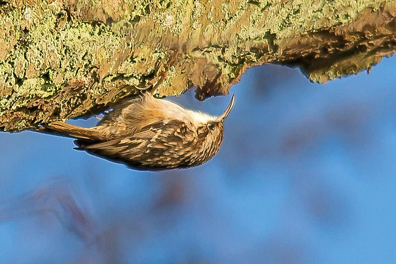 Foto/billede af Korttået Træløber (Certhia brachydactyla)