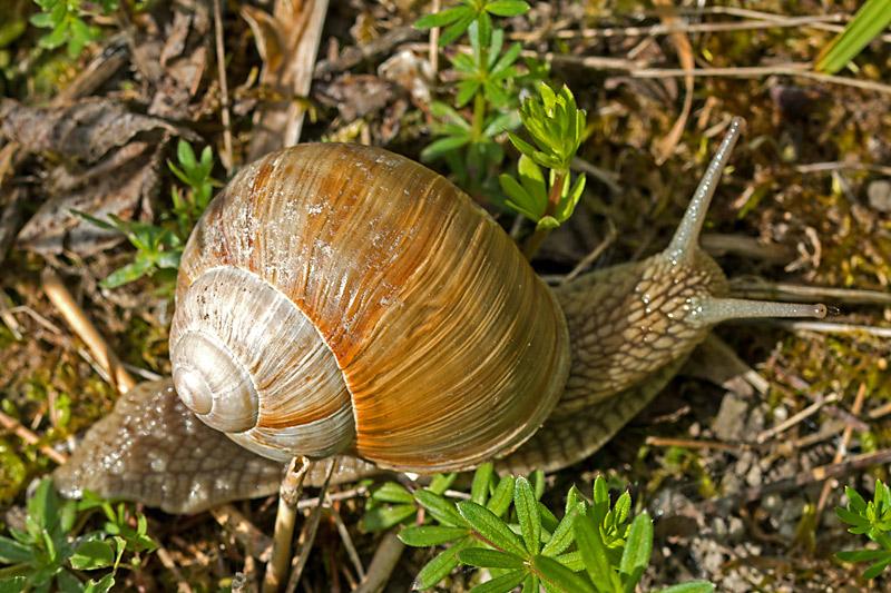 Vinbjergsnegl (Helix pomatia)