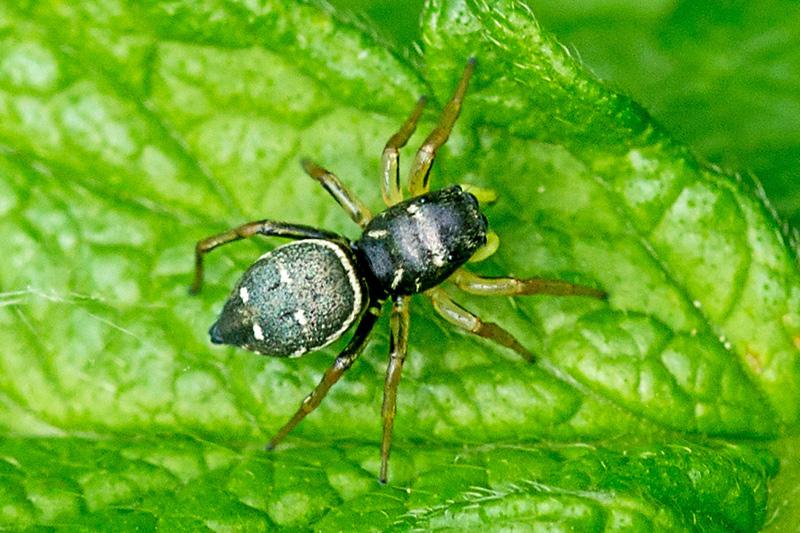 Heliophanus cupreus (Heliophanus cupreus)