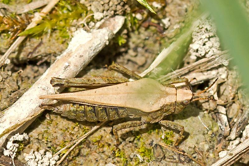Sump-Torngræshoppe (Tetrix subulata)