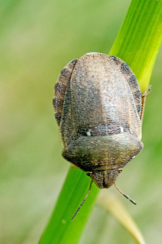 Starskjoldtæge (Eurygaster testudinaria)