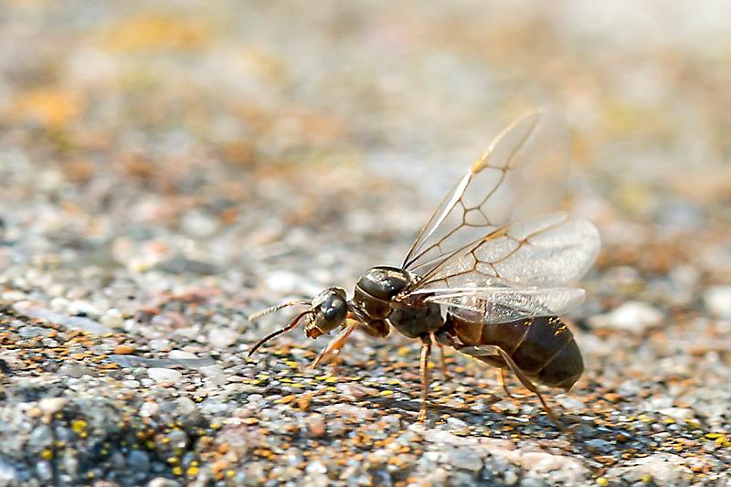 Foto/billede af Sort Havemyre (Lasius niger)