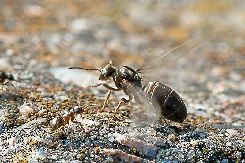 Sort Havemyre (Lasius niger)