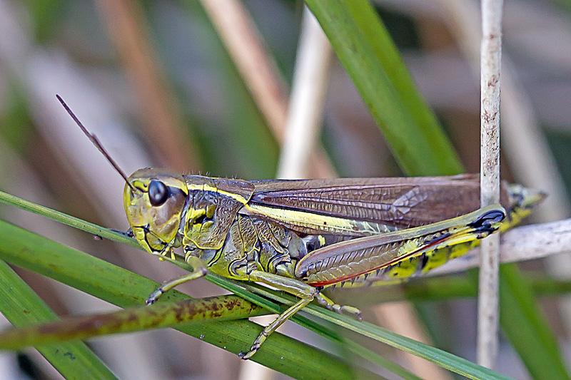 Sumpgræshoppe (Stetophyma grossum)