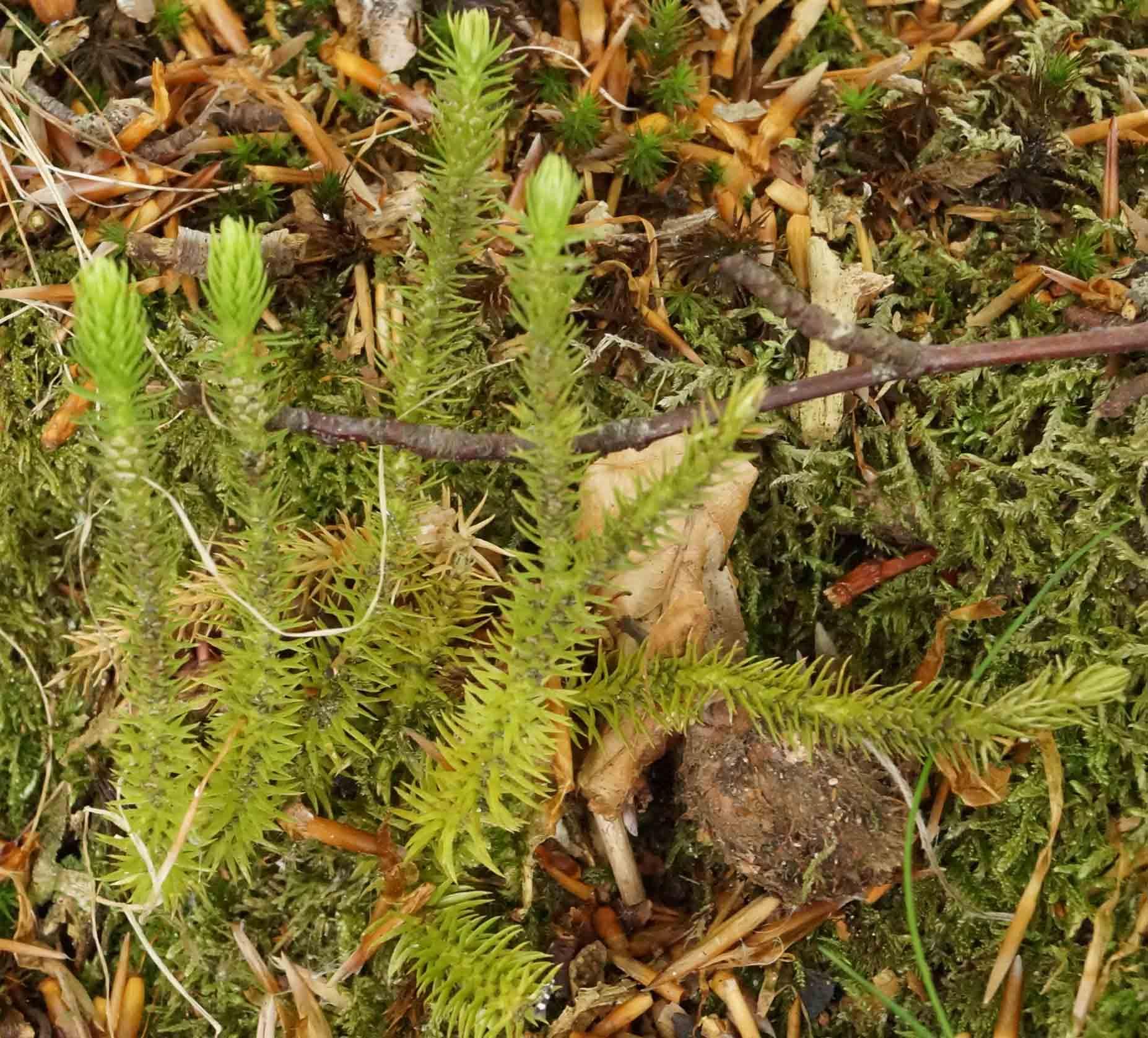 Otteradet Ulvefod (Huperzia selago)