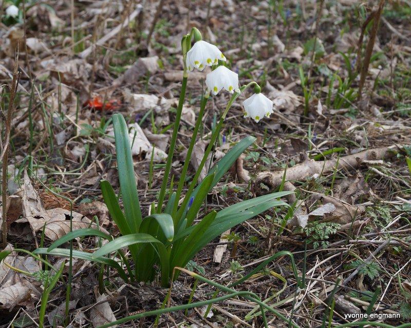 Vår-Hvidblomme (Leucojum vernum)