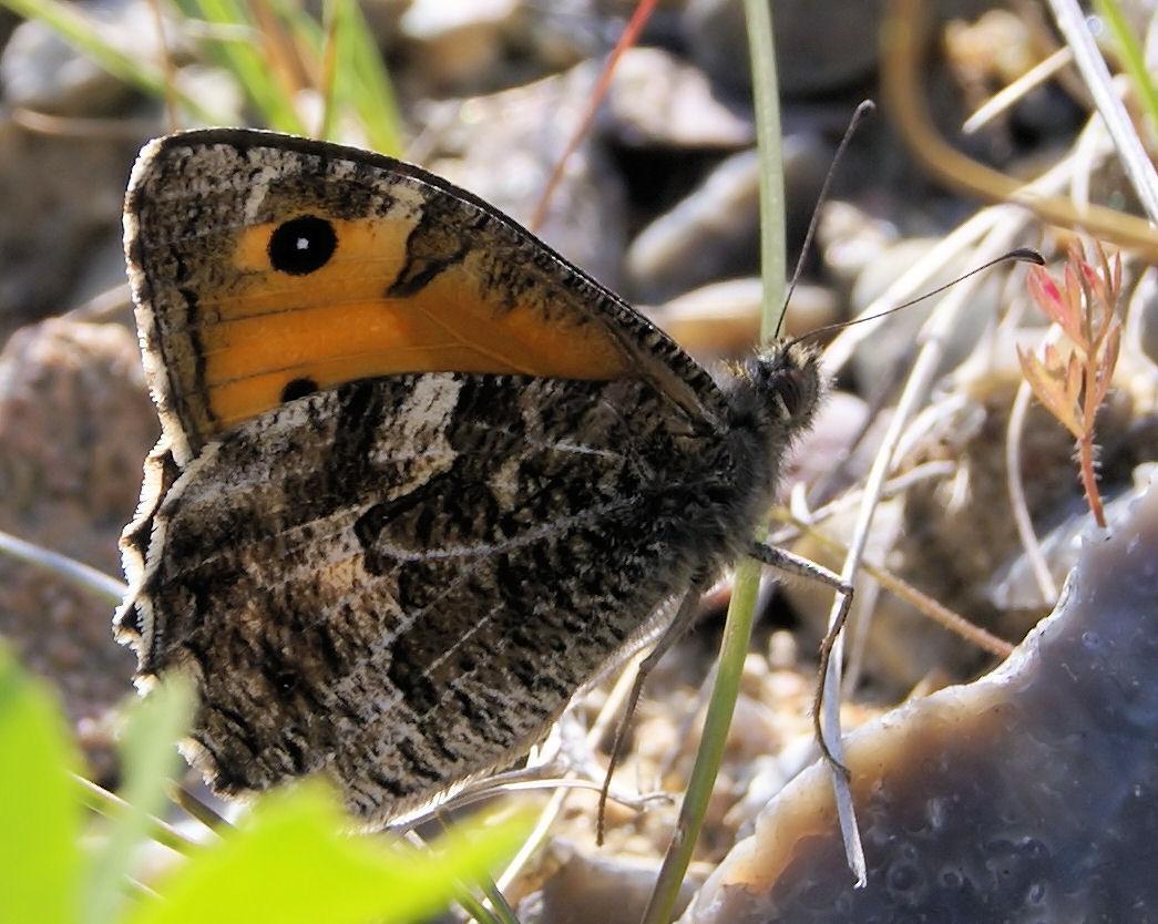 Foto/billede af Sandrand�je (Hipparchia semele)