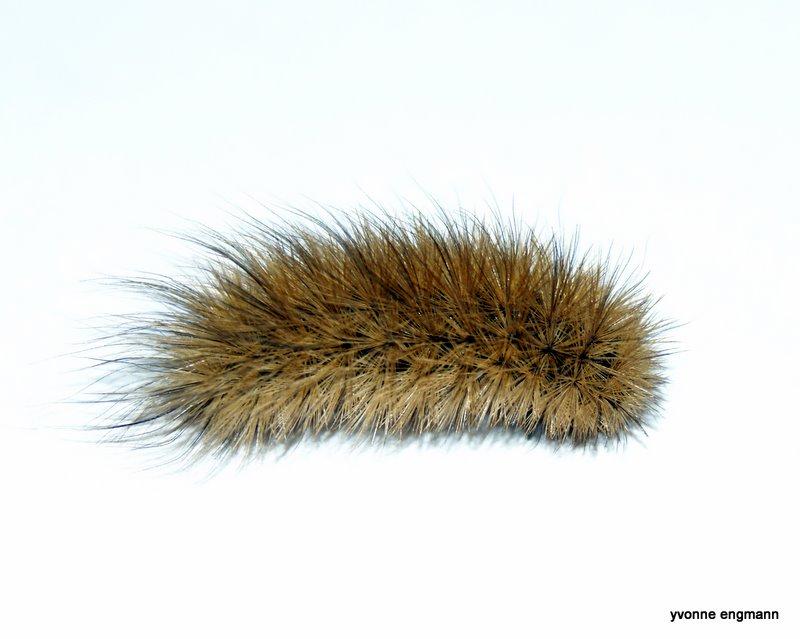 Foto/billede af Kanelbjørn (Phragmatobia fuliginosa)