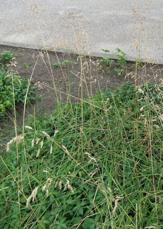 Smalbladet Rapgræs (Poa angustifolia)