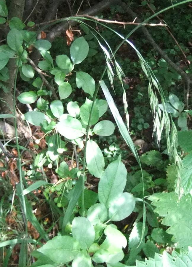 Tidlig Skov-Hejre (Bromopsis benekenii)