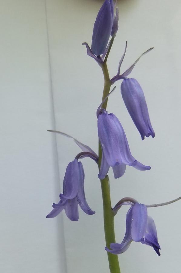 Foto/billede af Almindelig Klokkeskilla (Hyacinthoides non-scripta)