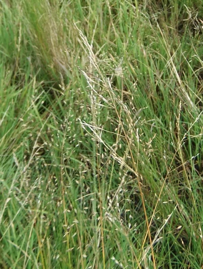 Stortoppet Rapgræs (Poa palustris)