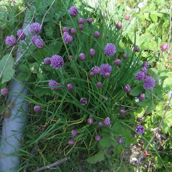 Foto/billede af Pur-Løg (Allium schoenoprasum)