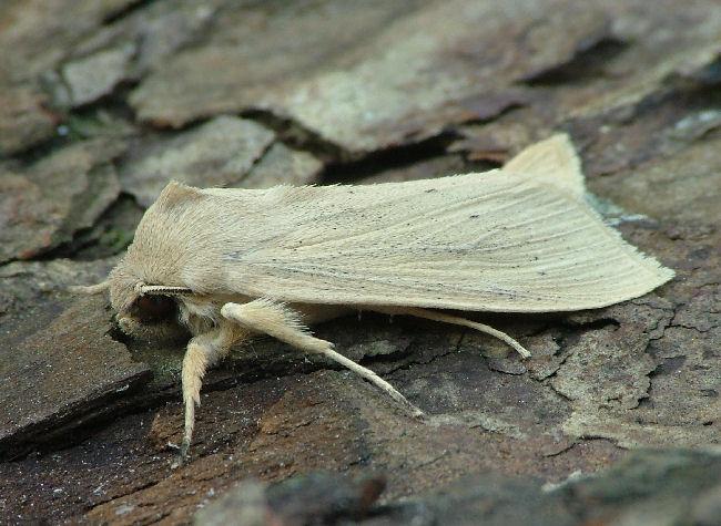 Foto/billede af Stor Sivugle (Rhizedra lutosa)