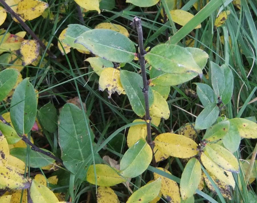 Salix x doniana (Salix x doniana)