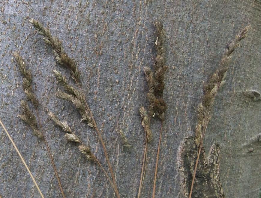 Skov-Hundegræs (Dactylis glomerata ssp. lobata)