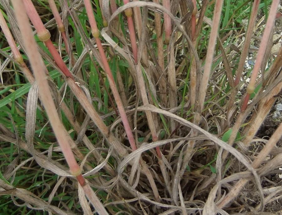 Eng-Hejre (Bromus racemosus)