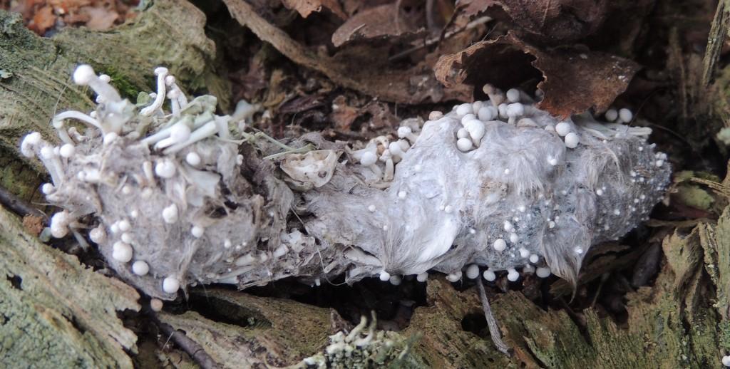 Fjersvamp (Onygena corvina)