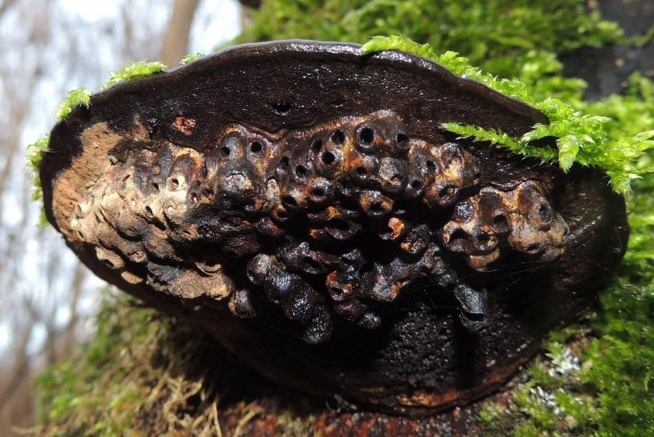 Galle-Platfodsflue (Agathomyia wankowiczii)