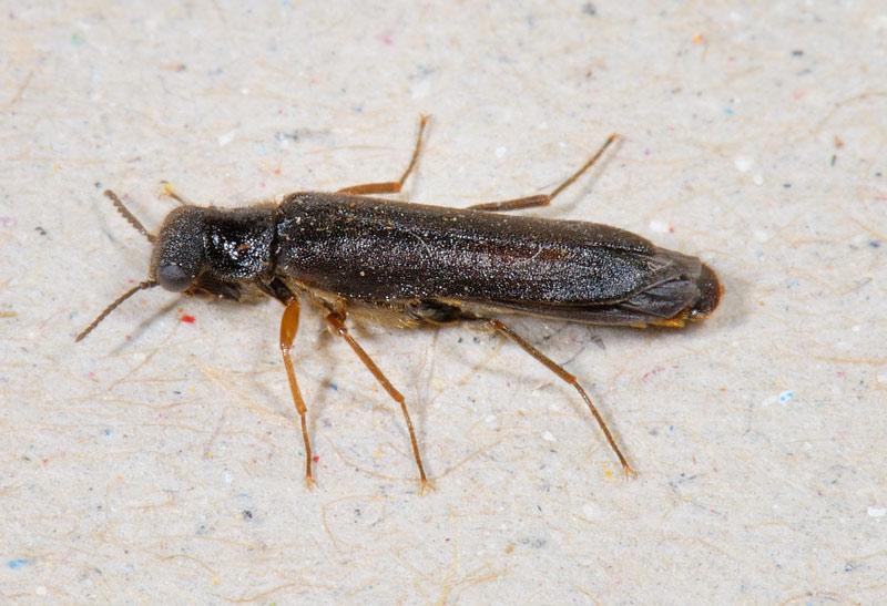 Foto/billede af Almindelig Værftbille (Elateroides dermestoides)