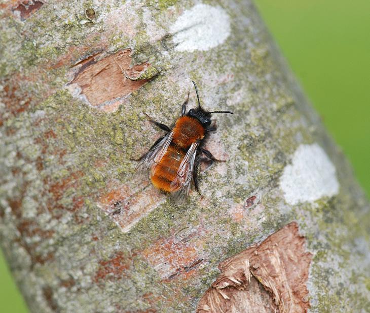 Rødpelset Jordbi (Andrena fulva)