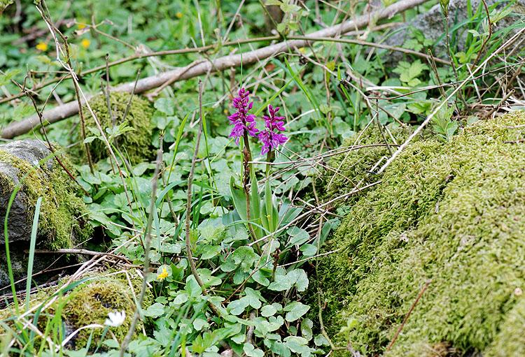 Foto/billede af Tyndakset Gøgeurt (Orchis mascula)