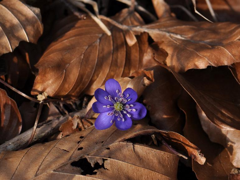 Blå Anemone (Hepatica nobilis)