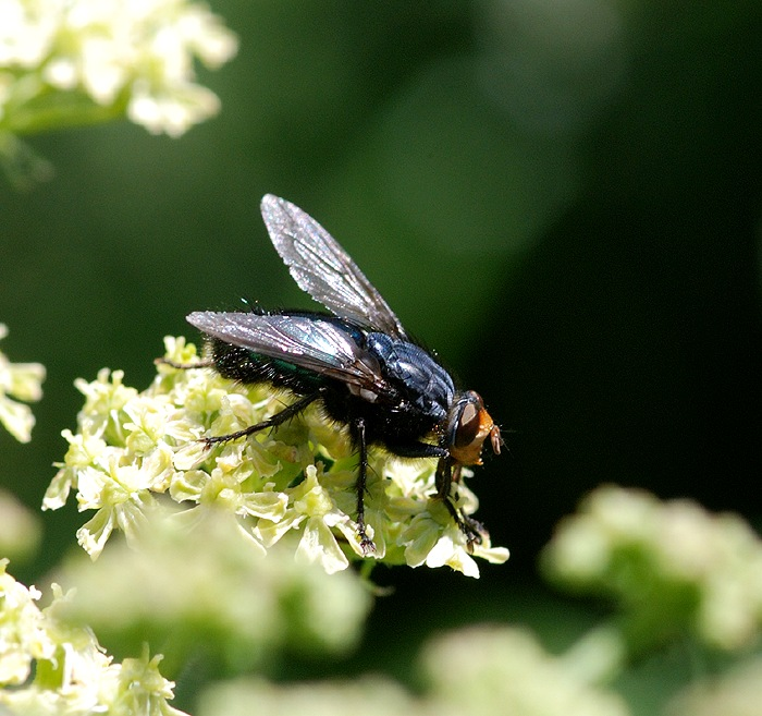 Foto/billede af Dødsflue (Cynomya mortuorum)
